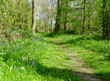 由森林地道路的会开蓝色钟形花的草 免版税库存图片
