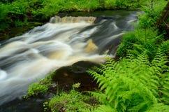 由森林小河的蕨 免版税图库摄影
