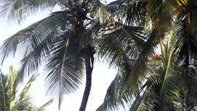 由椰子果子决定的印度人攀登沿棕榈树树干 影视素材