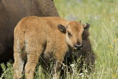 由母亲的北美野牛小牛 库存图片
