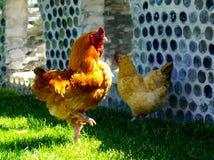 由母鸡的雄鸡高视阔步 免版税库存图片