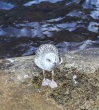 由水的一只海鸥 免版税库存图片