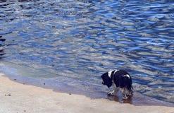 由水的狗 免版税图库摄影