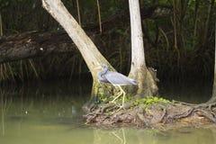 由水的狩猎灰色苍鹭 免版税库存图片