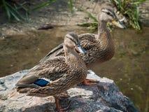 由池塘的两只鸭子 免版税图库摄影