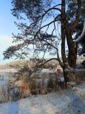 由池塘的杉木 免版税库存照片