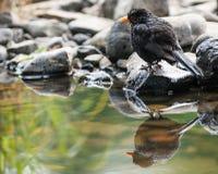 由池塘的逗人喜爱的小的黑鹂 库存照片