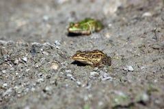 由池塘的青蛙 免版税图库摄影