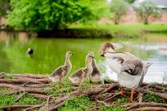 由池塘的鸭子家庭TX的2 库存图片