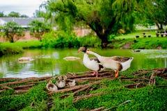 由池塘的鸭子家庭TX的2 库存照片