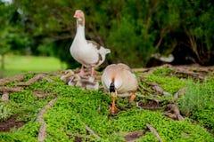 由池塘的鸭子家庭TX的2 免版税库存图片