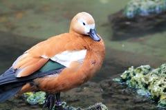 由池塘的鸭子 库存图片