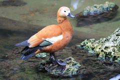 由池塘的鸭子 图库摄影
