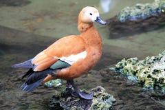 由池塘的鸭子 免版税库存照片