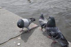 由河沿的三只鸽子 图库摄影