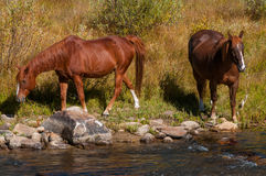 由河的两匹马 库存照片