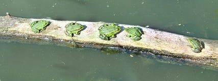 由河的五只水池青蛙 免版税库存图片