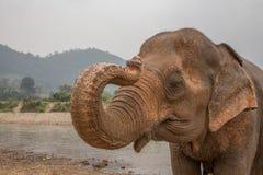 由河的亚洲大象在泰国 免版税图库摄影