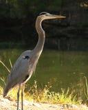 由河的伟大蓝色的苍鹭的巢 免版税库存照片
