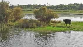 由河的农村领域有水牛家畜的在非洲 股票录像