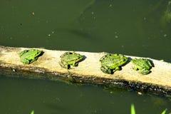 由河的四只水池青蛙 免版税库存照片