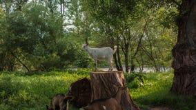 由河的山羊 免版税库存照片