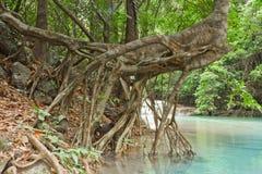 由河的根。 库存照片