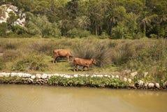 由河的母牛 库存图片