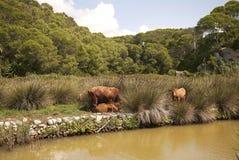 由河的母牛 免版税库存图片