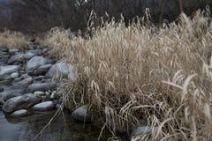 由河的芦苇 免版税库存照片