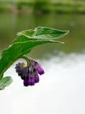 由河的紫色野花特写镜头 免版税图库摄影