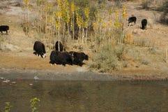 由河, Gizer谷的牦牛在北巴基斯坦 库存图片