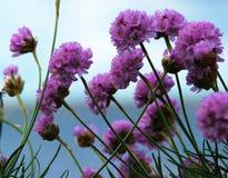 由海和蓝天的紫色花 免版税库存照片
