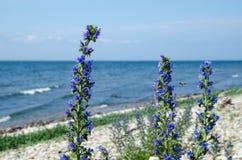 由海岸的蓝蓟特写镜头 库存照片