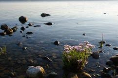 由海岸的被日光照射了海翠菊植物 免版税库存图片