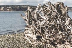 由海滩的大室外树根 图库摄影