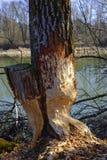 由海狸的损坏的树在岸边的区域 免版税库存图片