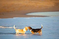 由海的两只贝塞猎狗 库存图片