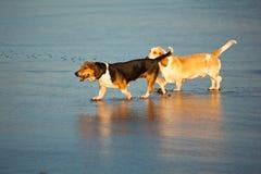 由海的两只贝塞猎狗 图库摄影