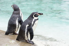 由海的企鹅 库存照片