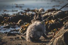 由海的安哥拉猫兔宝宝 库存照片