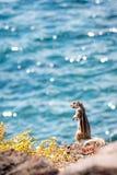 由海的花栗鼠 图库摄影