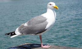 由海运的海鸥 免版税库存照片