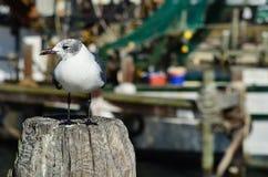 由海运的海鸥 库存图片