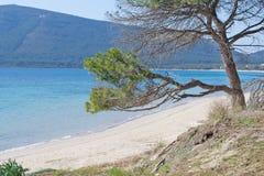 由海滩的杉树 免版税图库摄影