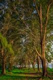 由海滩的杉树 免版税库存照片
