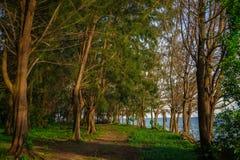 由海滩的杉树 库存图片