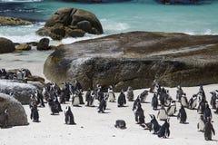 由海滩的非洲公驴企鹅殖民地 库存照片