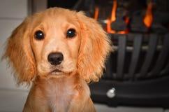 由温暖的火的猎犬小狗保持 库存照片