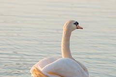 由湖岸的天鹅在日落 免版税库存图片